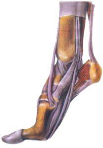 ścięgno Achillesa, Achilles tendon, budowa stopy, anatomia stopy, ścięgna, mięśnie, więzadła, tkanki miękkie, sctructure of foot, skeleton of foot, tendons, ligaments, soft tissues, stanie na palcach