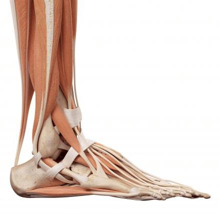 ścięgno Achillesa, Achilles tendon, budowa stopy, anatomia stopy, ścięgna, mięśnie, więzadła, tkanki miękkie, sctructure of foot, skeleton of foot, tendons, ligaments, soft tissues