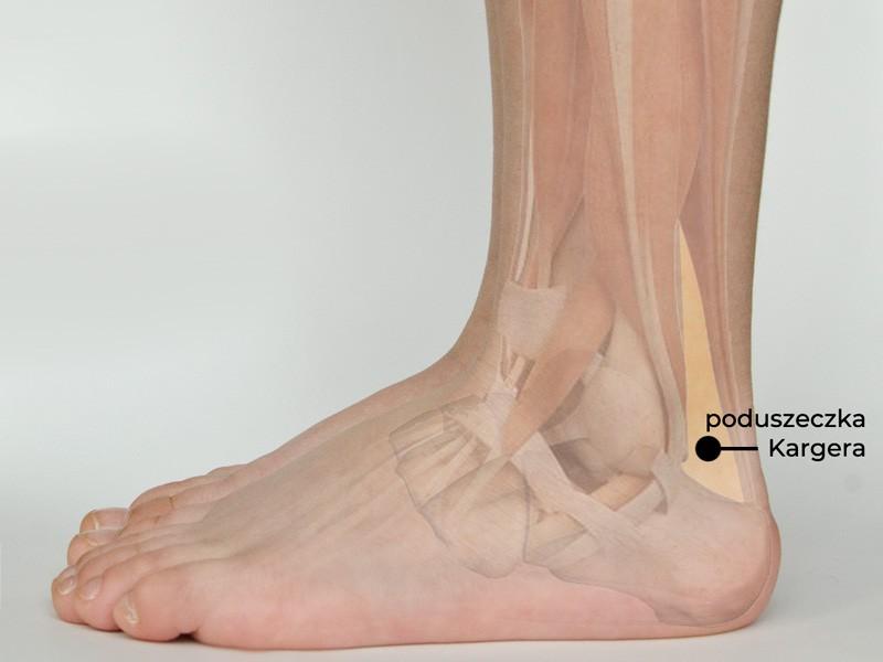 Kargers fat pad, poduszeczka Kargera, trójkąt Karegra, ścięgno Achillesa, stopa, budowa, anatomia stopy