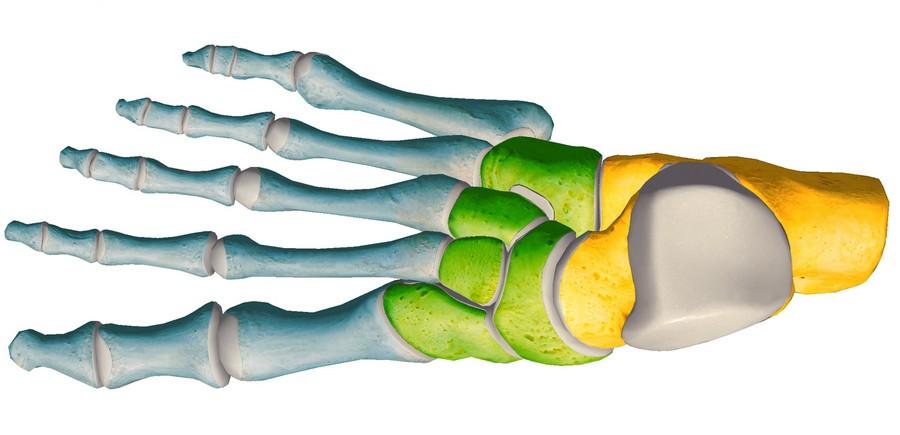 anatomia stopy, szkielet stopy, części stopy, kolory, budowa stopy, structure of the foot, skeleton of foot, foot anatomy