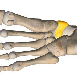 anatomia stopy, szkielet stopy, części stopy, kolory, budowa stopy, structure of the foot, skeleton of foot, foot anatomy, kość łódkowata, navicular