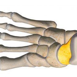 anatomia stopy, szkielet stopy, części stopy, kolory, budowa stopy, structure of the foot, skeleton of foot, foot anatomy, kość skokowa, talus