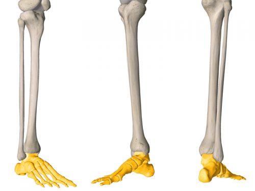 stopa, lokalizacja, kończyna dolna, anatomia