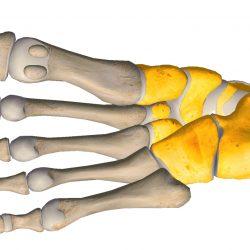 anatomia stopy, szkielet stopy, części stopy, kolory, budowa stopy, structure of the foot, skeleton of foot, foot anatomy, stęp, tarsus, widok od spodu