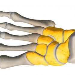 anatomia stopy, szkielet stopy, części stopy, kolory, budowa stopy, structure of the foot, skeleton of foot, foot anatomy, stęp, tarsus, widok od góry