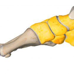 anatomia stopy, szkielet stopy, części stopy, kolory, budowa stopy, structure of the foot, skeleton of foot, foot anatomy, stęp, tarsus, widok od środka