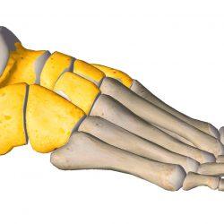 anatomia stopy, szkielet stopy, części stopy, kolory, budowa stopy, structure of the foot, skeleton of foot, foot anatomy, stęp, tarsus, widok od zewnątrz