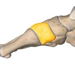 anatomia stopy, szkielet stopy, części stopy, kolory, budowa stopy, structure of the foot, skeleton of foot, foot anatomy, kość klinowata, kość klinowata przyśrodkowa, medial cuneiform
