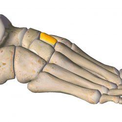 anatomia stopy, szkielet stopy, części stopy, kolory, budowa stopy, structure of the foot, skeleton of foot, foot anatomy, kość klinowata, kość klinowata środkowa, intermediate cuneiform