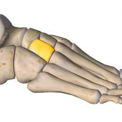 anatomia stopy, szkielet stopy, części stopy, kolory, budowa stopy, structure of the foot, skeleton of foot, foot anatomy, kość klinowata, kość klinowata boczna, lateral cuneiform