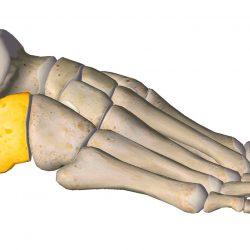 anatomia stopy, szkielet stopy, części stopy, kolory, budowa stopy, structure of the foot, skeleton of foot, foot anatomy, kość piętowa, calcaneus