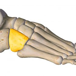 anatomia stopy, szkielet stopy, części stopy, kolory, budowa stopy, structure of the foot, skeleton of foot, foot anatomy, kość sześcienna, cuboid